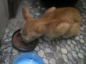 makanan kucing alternatif